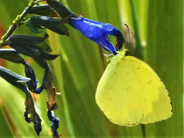 香草メドーセージの花に@キュートなキチョウさん