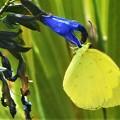 写真: 香草メドーセージの花に@とてもキュートなキチョウさん