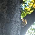 写真: ケヤキに空蝉@三原城址周辺