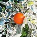 Photos: オレンジ色の実@スノーサンゴ