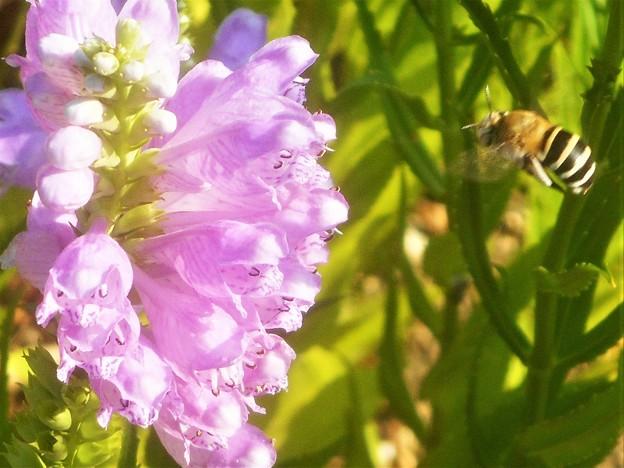 ハナトラノオにミツバチくんが接近中@初秋のびんご運動公園