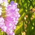 写真: ハナトラノオにミツバチくんが接近中@初秋のびんご運動公園