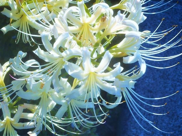 九月に咲く 白い曼殊沙華(マンジュシャゲ)@彼岸花(ヒガンバナ)