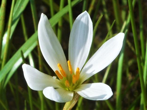 秋に咲く 白いタマスダレ