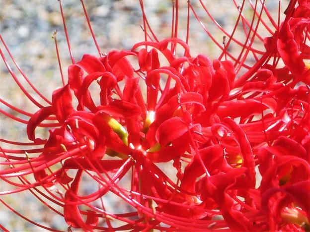 秋晴れに咲く@紅い曼殊沙華(マンジュシャゲ)
