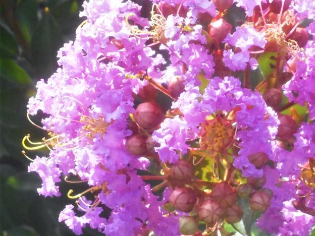 Photos: フリルがいっぱい イッサイサルスベリ@夏の花壇の百日紅(園芸品種)
