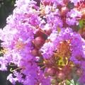 フリルがいっぱい イッサイサルスベリ@夏の花壇の百日紅(園芸品種)