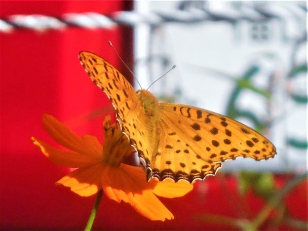 鮮やかなツマグロヒョウモン(♂)の表翅