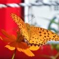 写真: 鮮やかなツマグロヒョウモン(♂)の表翅