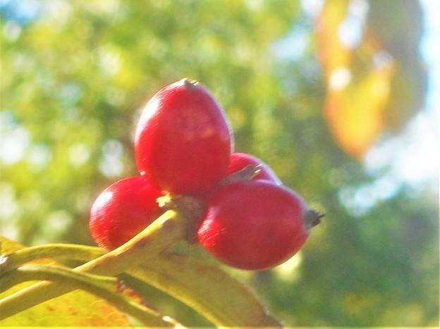 Photos: 秋のハナミズキの実@標高300mのびんご運動公園