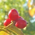 写真: 秋のハナミズキの実@標高300mのびんご運動公園