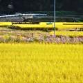 写真: 稲刈りとコスモス@びんご運動公園周辺