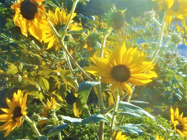 高原の秋の向日葵(ヒマワリ)