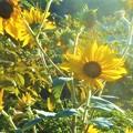 写真: 高原の秋の向日葵(ヒマワリ)