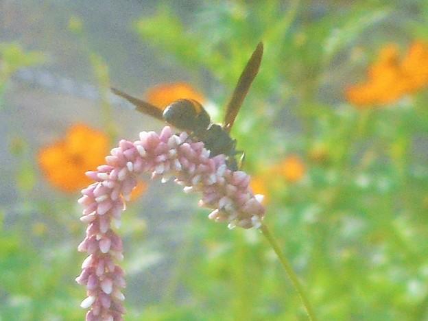 ハチの仲間とオオケタデ