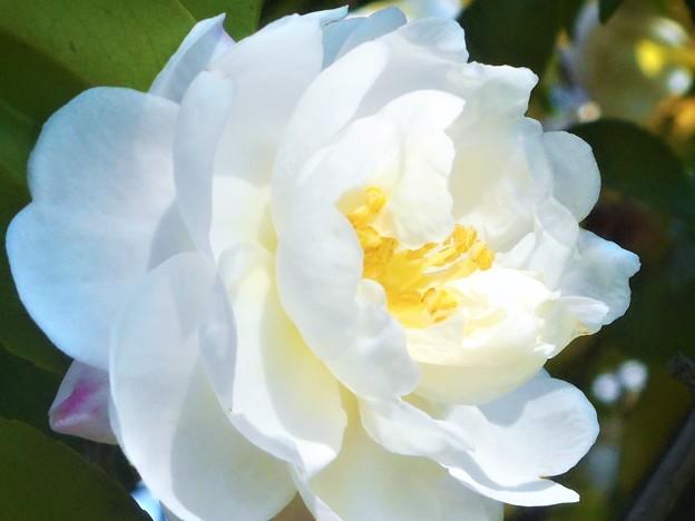 八重のサザンカの花@立冬前日