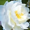 写真: 八重のサザンカの花@立冬前日