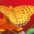 写真: 翅を広げた ツマグロヒョウモン(♂)@秋の高原
