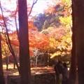 写真: 杉木立の紅葉@錦秋の佛通寺