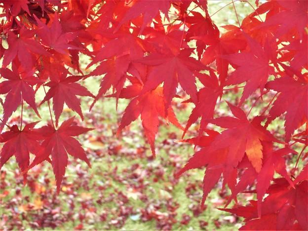 最後の紅葉と落葉@備後路