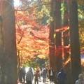Photos: 参道の杉木立の紅葉@佛通寺