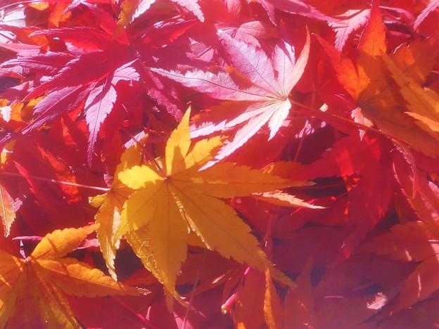 落ち葉の季節@モミジ編
