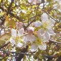 写真: 冬桜4