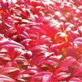 お多福南天(オタフクナンテン)の紅葉