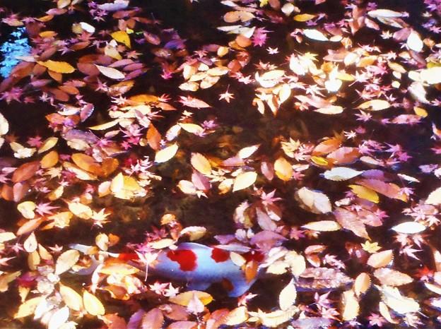 Photos: 晩秋の崑崗池(コンコウイケ)の緋鯉@古刹・佛通寺