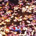 晩秋の崑崗池(コンコウイケ)の緋鯉@古刹・佛通寺