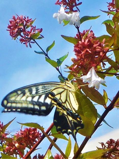見上げれば アゲハチョウ@アベリアの花@瑠璃山周辺