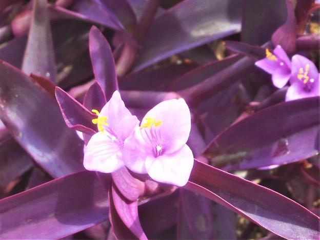 秋のキュートな紫御殿(ムラサキゴテン)