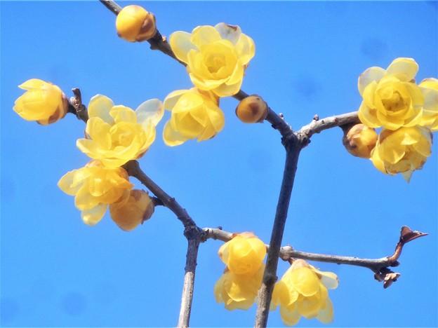 新春の甘い香りのソシンロウバイ@高諸神社周辺