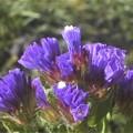 新春に咲く鮮やかスターチス