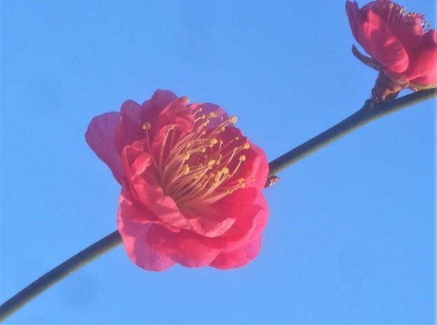 新春の寒紅梅@備後路