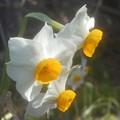 早春に咲く ニホンスイセン