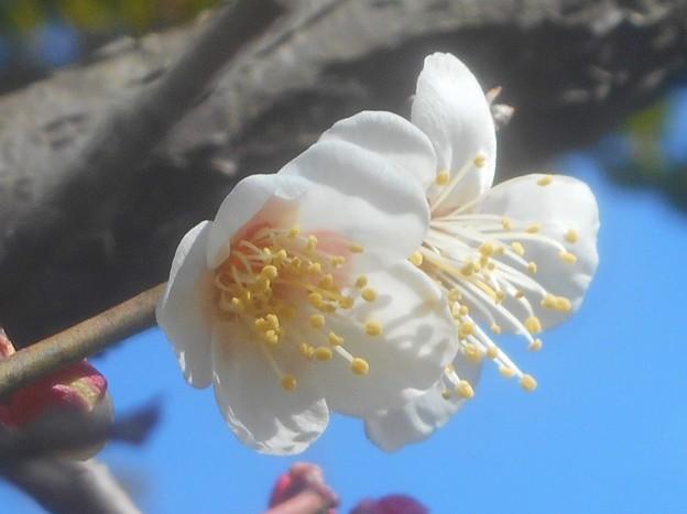 早春に咲く 高諸神社の白梅