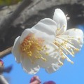 Photos: 早春に咲く 高諸神社の白梅
