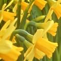 写真: 早春の黄水仙テタテート