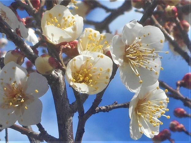 大寒過ぎの梅林に咲き始めた白梅@仕出し料理屋
