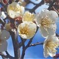 Photos: 大寒過ぎの梅林に咲き始めた白梅@仕出し料理屋