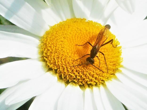 白いデージーに見かけない昆虫(ジガバチ)