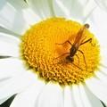 Photos: 白いデージーに見かけない昆虫(ジガバチ)
