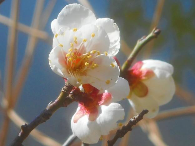 池の周りに咲く 早春の白梅@高諸神社