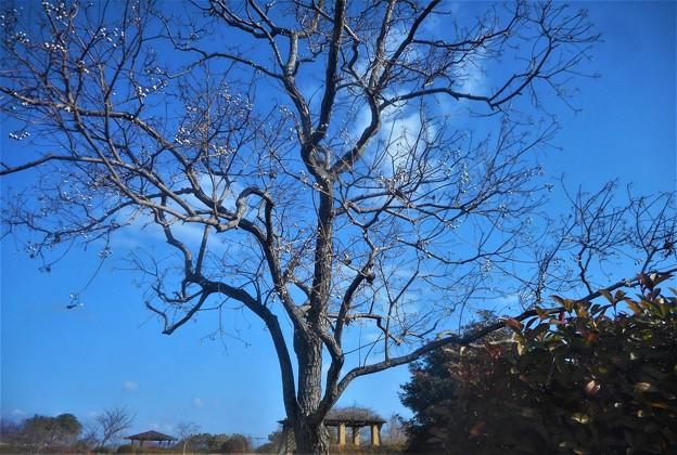 冬枯れのナンキンハゼ@早春の公園