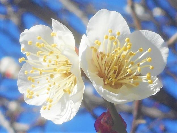 早春の梅の便り