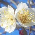 Photos: 早春の梅の便り