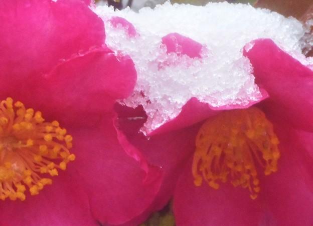列島冷え込む@サザンカに雪降り積もる@建国記念の日