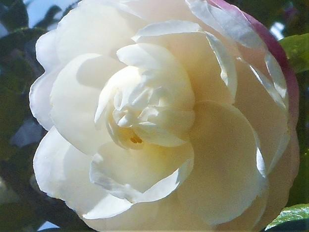 八重咲きの サザンカの花@純白系