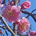 土手下に咲く@八重の紅枝垂れ梅